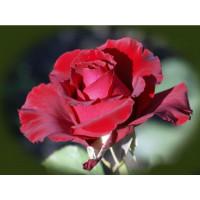 Роза Erotika(чайно-гибридная)